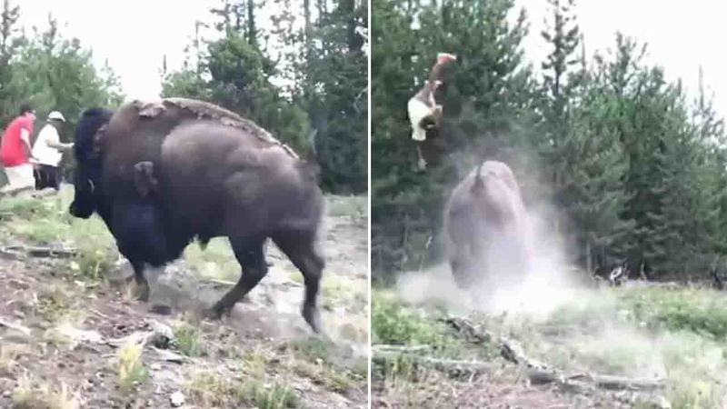 Image result for 9-year-old girl tossed in air when bison charges Yellowstone tourists