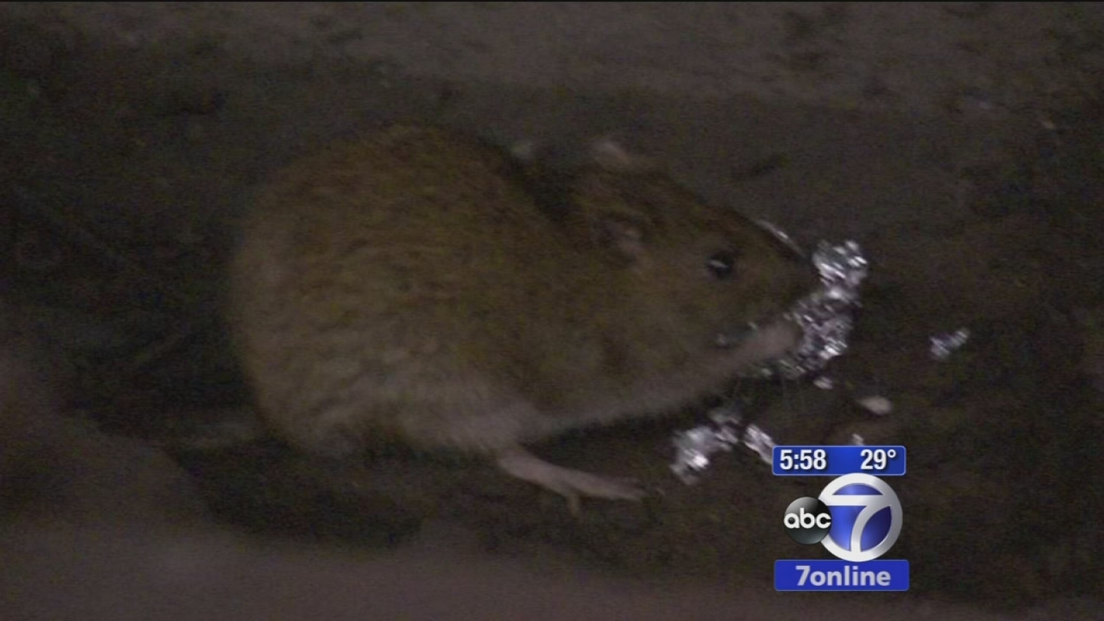 Disgusting Diseases Transmitted From Fleas On New York City Rats And Other Rodents Abc7 New York