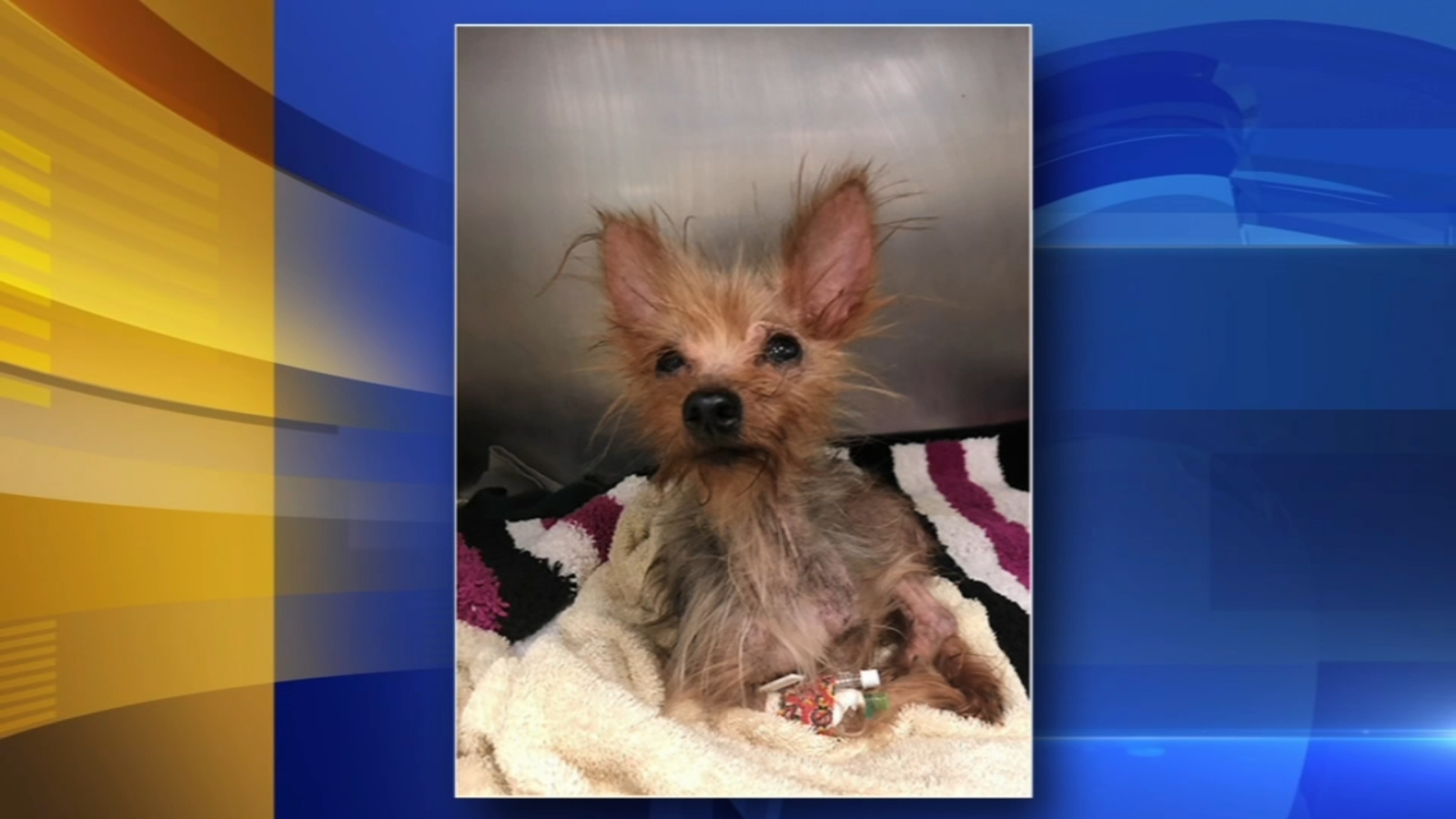 Yorkie recovering after being found in sealed container outside Pa. SPCA