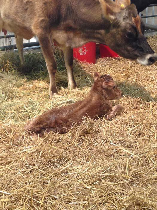 "<div class=""meta image-caption""><div class=""origin-logo origin-image none""><span>none</span></div><span class=""caption-text"">Baby calf born at 7 p.m. on March 3 (KTRK Photo)</span></div>"