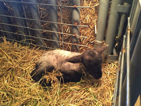 """<div class=""""meta image-caption""""><div class=""""origin-logo origin-image none""""><span>none</span></div><span class=""""caption-text"""">One of the twin lambs born in the morning on March 3 (KTRK Photo)</span></div>"""