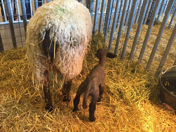 """<div class=""""meta image-caption""""><div class=""""origin-logo origin-image none""""><span>none</span></div><span class=""""caption-text"""">The other twin lamb born in the morning on March 3 (KTRK Photo)</span></div>"""