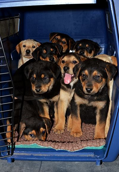"""<div class=""""meta image-caption""""><div class=""""origin-logo origin-image none""""><span>none</span></div><span class=""""caption-text"""">A man claiming to have found nine puppies in a box next to a dumpster in San Rafael brought them to the Marin Humane Society on March 3, 2015. (Marin Humane Society/Facebook)</span></div>"""