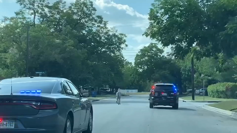 Loose zebra sends police officers on wild chase