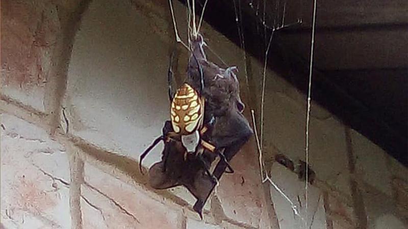 Watch: Texas woman records giant spider eating bat - UPI com