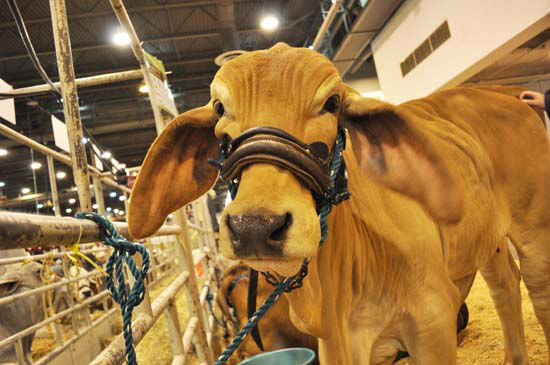 """<div class=""""meta image-caption""""><div class=""""origin-logo origin-image none""""><span>none</span></div><span class=""""caption-text"""">One of this year's competitors in this unusual cattle breed (KTRK Photo/ Amanda Cochran)</span></div>"""