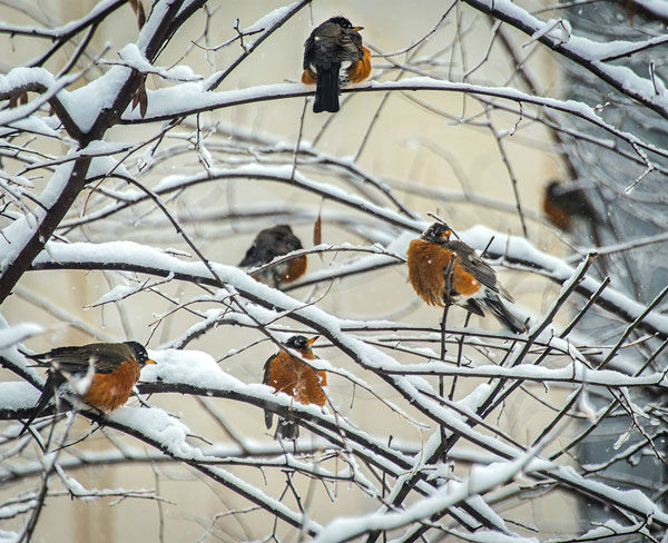 """<div class=""""meta image-caption""""><div class=""""origin-logo origin-image none""""><span>none</span></div><span class=""""caption-text"""">Dozens of robins were spotted in the snow covered trees outside 6abc studios (WPVI Photo/ Bruce Neumann)</span></div>"""