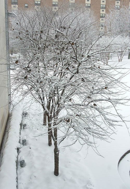 """<div class=""""meta image-caption""""><div class=""""origin-logo origin-image none""""><span>none</span></div><span class=""""caption-text"""">Dozens of robins were spotted in the snow covered trees outside 6abc studios. (WPVI Photo/ Bruce Neumann)</span></div>"""
