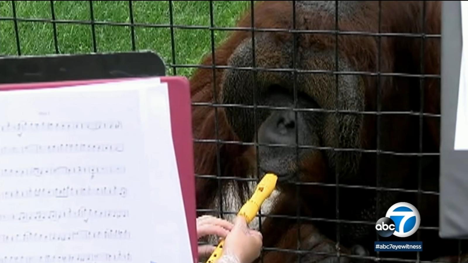 Orangutan in North Dakota zoo pulls on heart strings when he plays recorder