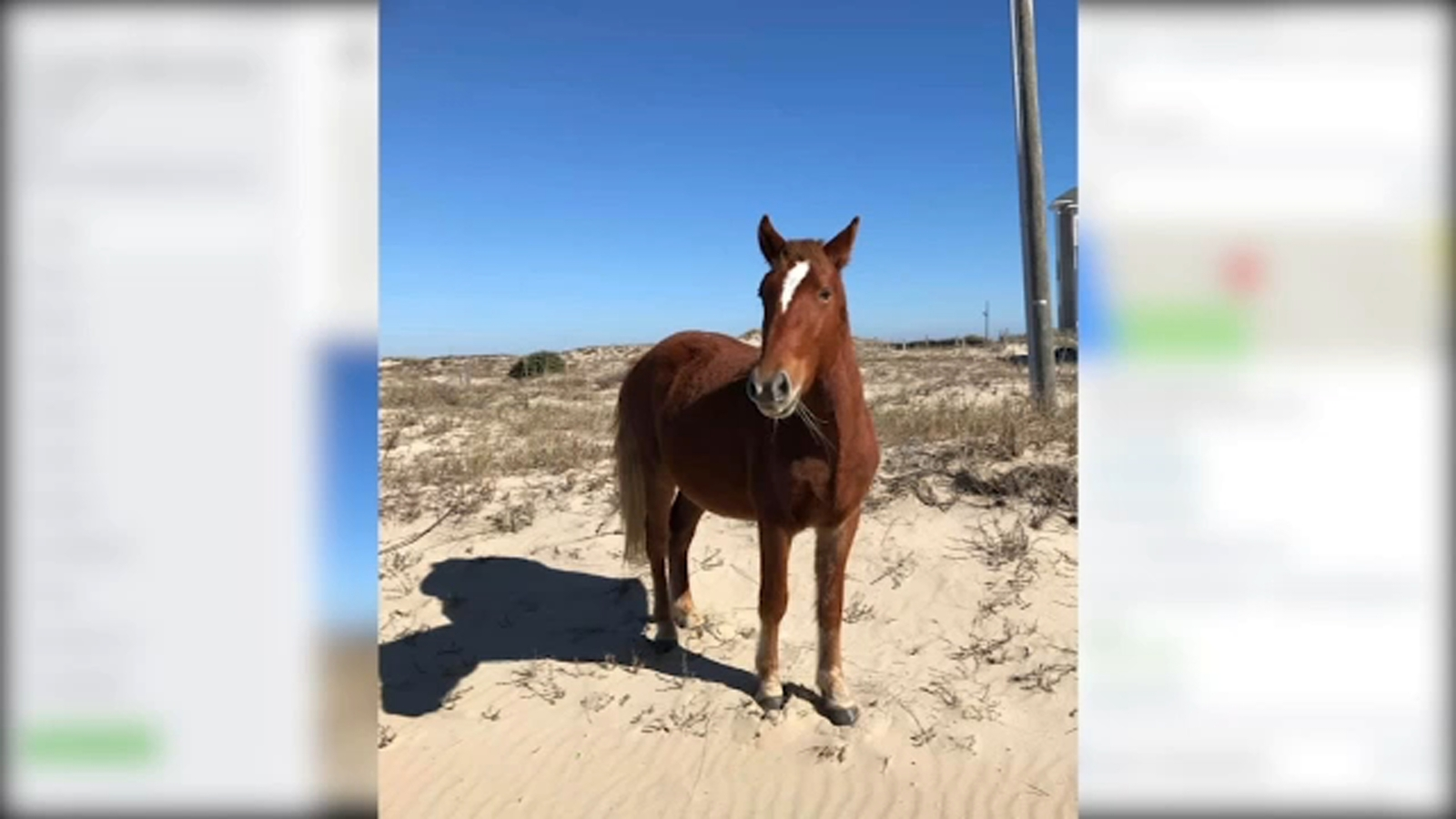 Outer Banks wild horse euthanized after becoming tangled in barbed wire