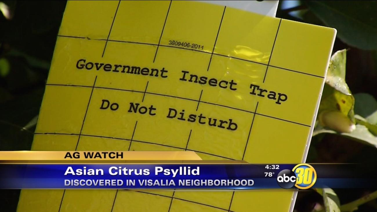 Asian citrus psyllid discovered in Visalia neighborhood