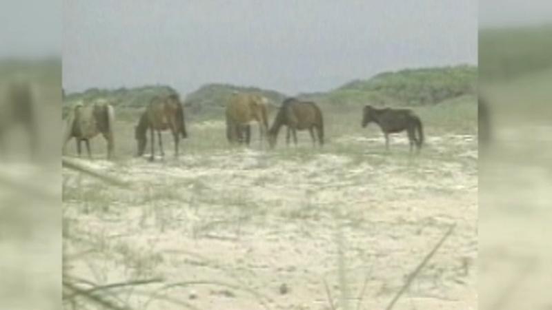 Wild horses to ride out Hurricane Dorian