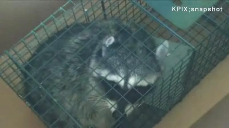 Man loses job for freeing raccoon