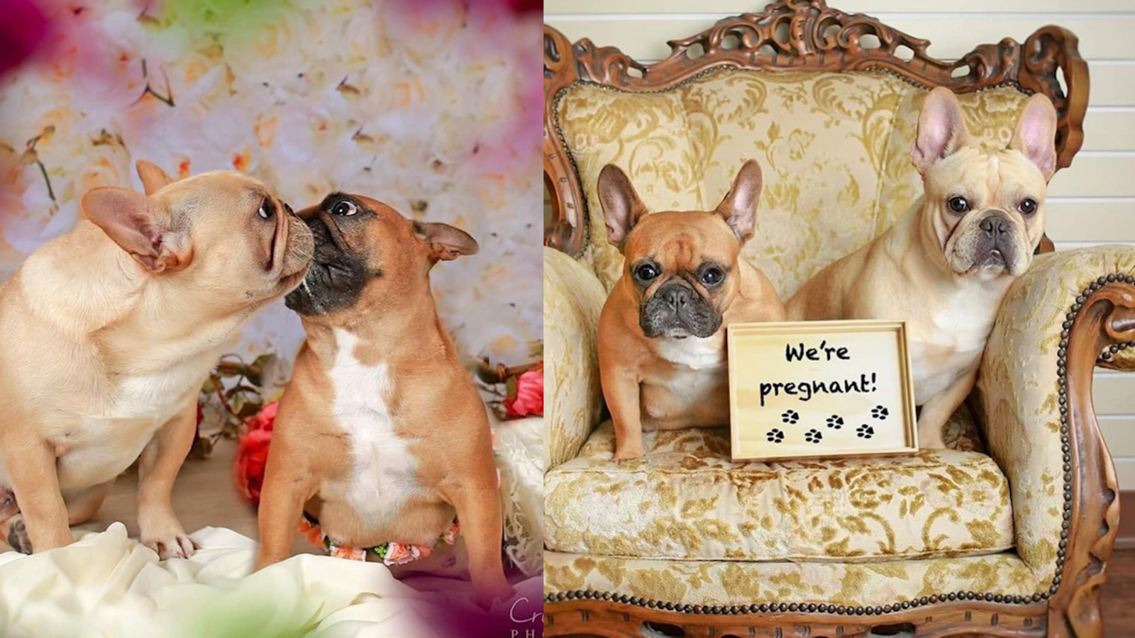 French bulldogs pose for adorable maternity shoot in El Campo