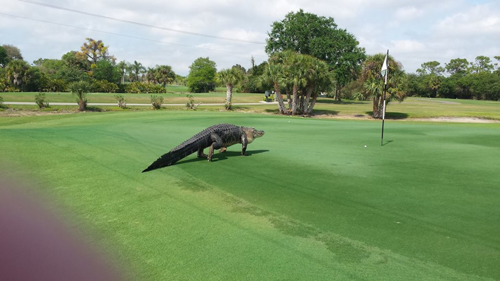 Photos Show Massive Alligator Roaming Golf Course In Englewood Florida Abc7 San Francisco