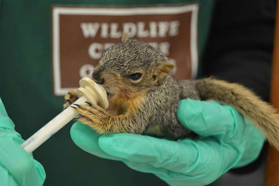 """<div class=""""meta image-caption""""><div class=""""origin-logo origin-image none""""><span>none</span></div><span class=""""caption-text"""">The Wildlife Center of Texas, a subsidiary of the Houston SPCA, has rescued about 300 baby animals from Galveston that weren't dealing well with the cold, wet weather. (KTRK Photo/ Houston SPCA)</span></div>"""