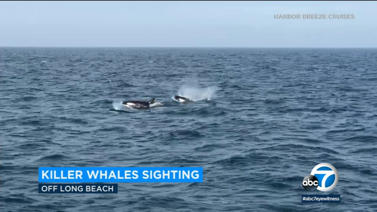 A rare sight: killer whales in the waters off the Southern California coast