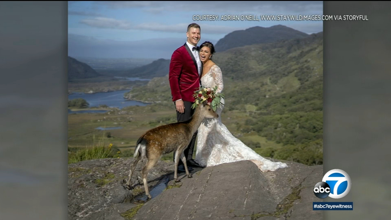 Say cheese! Deer photobombs newlyweds during wedding photos in national park in Ireland