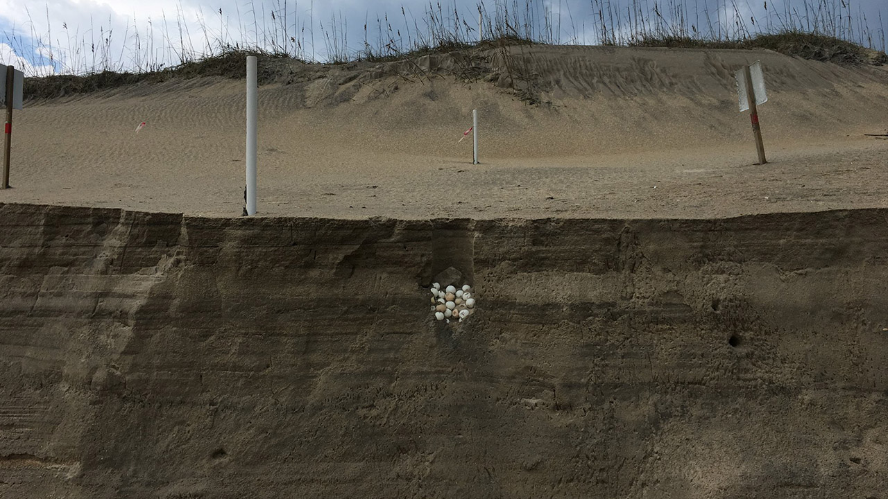 Erosion from Hurricane Dorian slices up beach sand, reveals sea turtle nest on Hatteras Island
