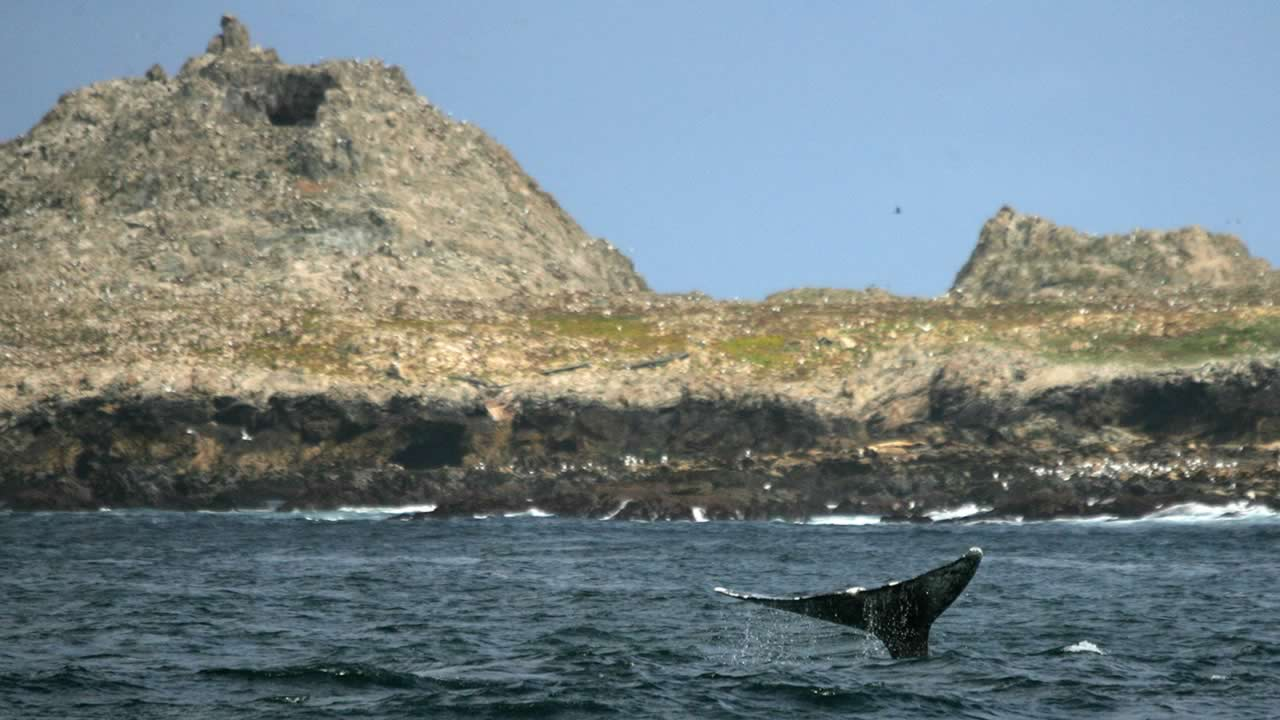 A gray whale swims past the Southeast Farallon Island of the Farallon National Wildlife Refuge in California, Thursday, May 12, 2005. (AP Photo/Eric Risberg)
