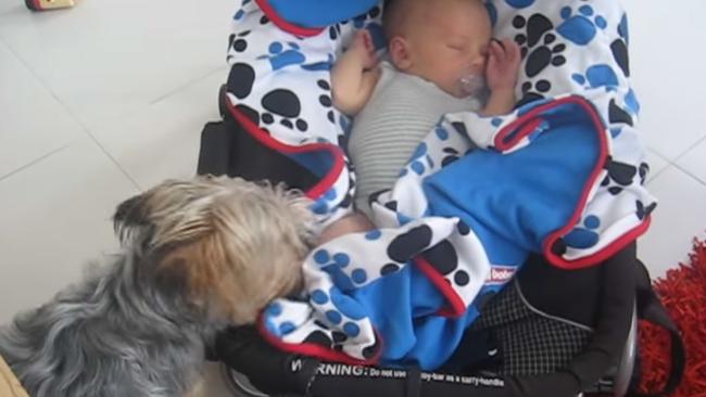 Awwdorable Video Yorkie Makes Sure Sleeping Baby Is Snug And Warm