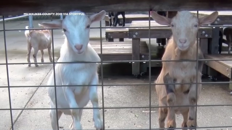 Baby Goats Just Want To Have Fun