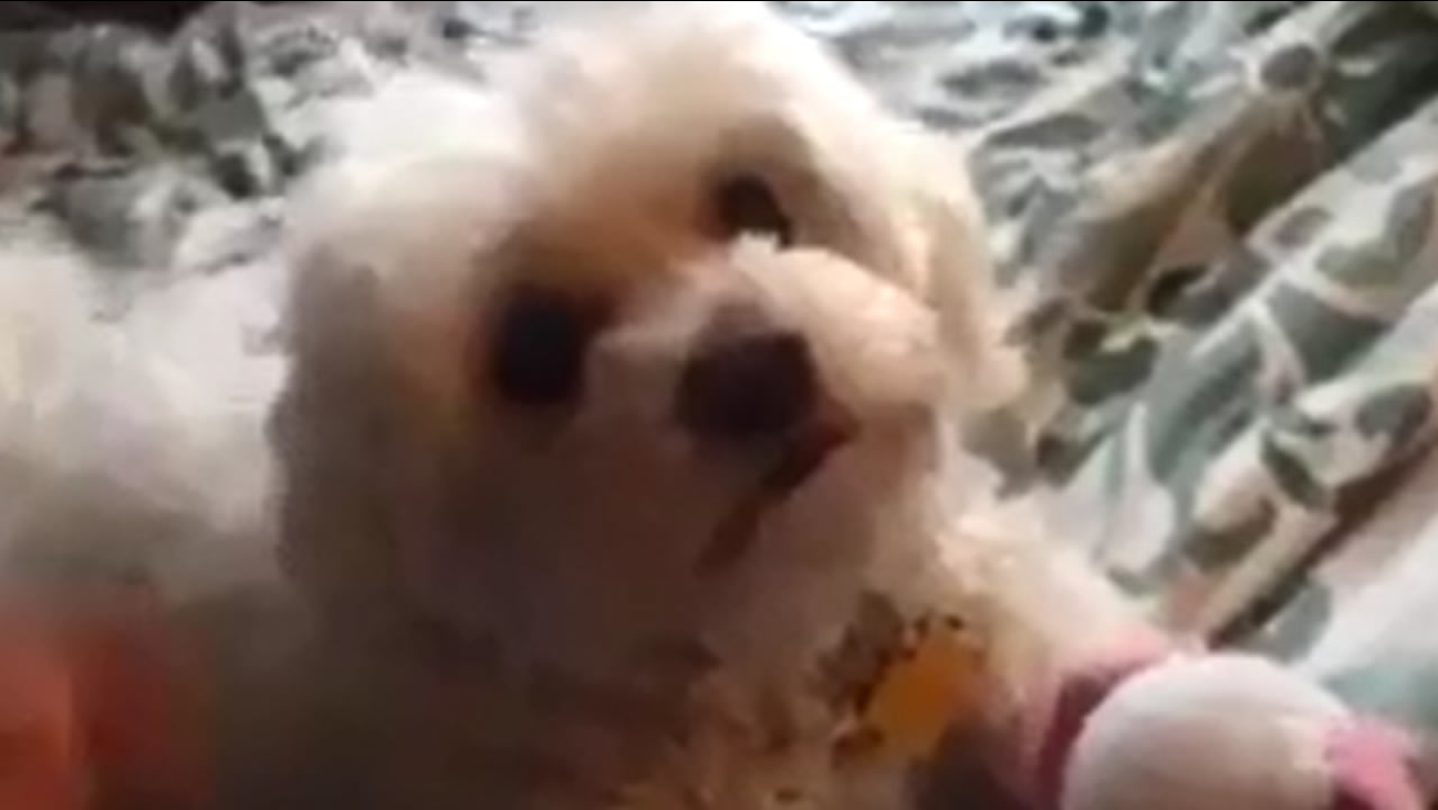 """The playful Maltese poodle mix affectionately known as """"Bella"""" went missing last Wednesday."""