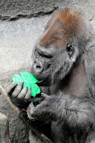 "<div class=""meta image-caption""><div class=""origin-logo origin-image none""><span>none</span></div><span class=""caption-text"">JoJo, a western lowland gorilla at Brookfield Zoo, eats a nutritious shamrock-shaped treat today on St. Patrick's Day. (Jim Schulz/Chicago Zoological Society)</span></div>"
