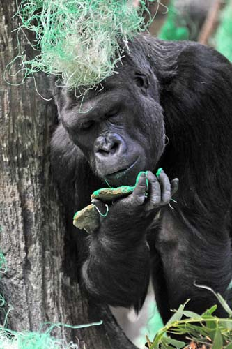 "<div class=""meta image-caption""><div class=""origin-logo origin-image none""><span>none</span></div><span class=""caption-text"">Koola, a western lowland gorilla at Brookfield Zoo, eats a nutritious shamrock-shaped treat today on St. Patrick's Day. (Jim Schulz/Chicago Zoological Society)</span></div>"