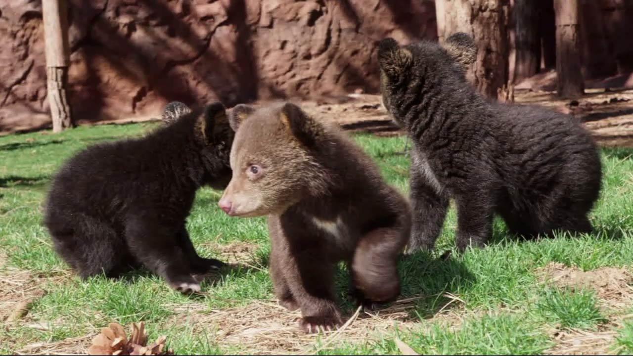 Three black bear cubs made their debut at the Bearizona Wildlife Park in Williams, Arizona.