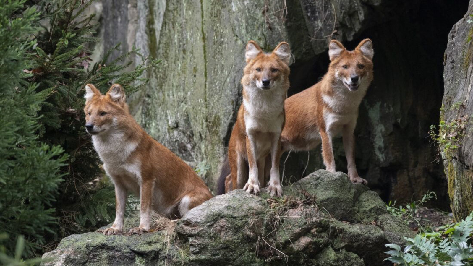 Bronx Zoo debuts pack of endangered Asian wild dogs in new exhibit