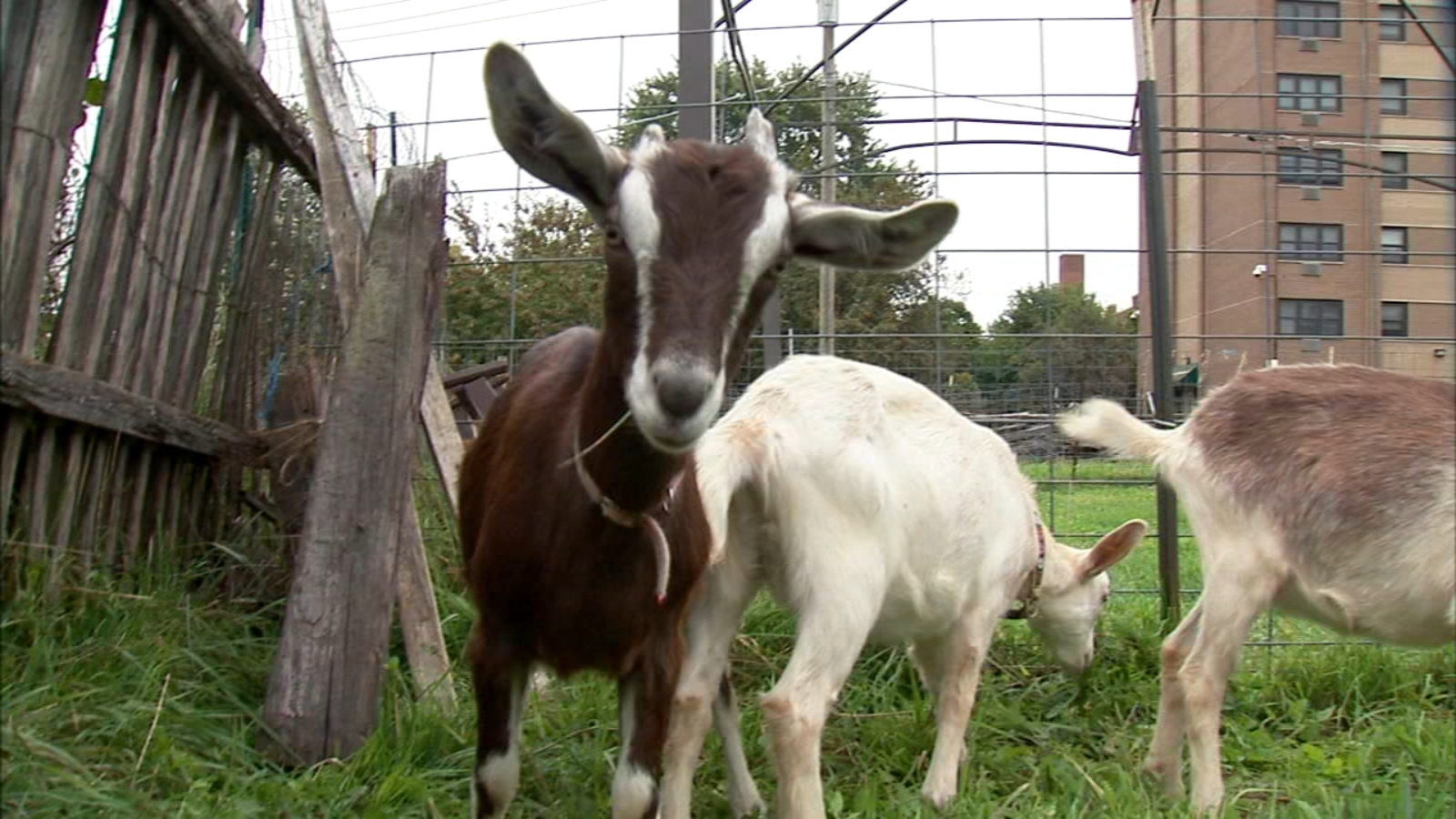 Backyard farms: Proposed ordinance aims to regulate livestock in the city