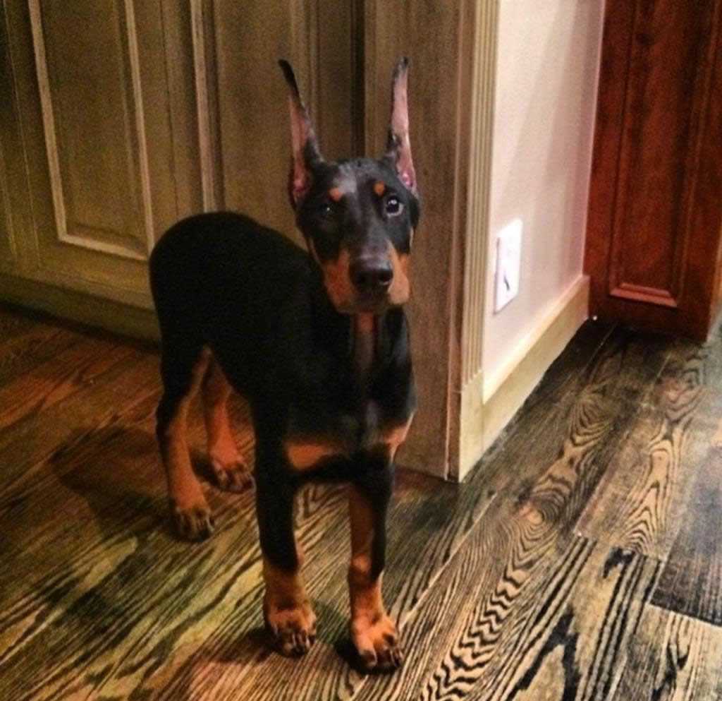 "<div class=""meta image-caption""><div class=""origin-logo origin-image kgo""><span>KGO</span></div><span class=""caption-text"">Meet little Giovanni the Doberman! ABC7 News viewers are sending in photos of their dogs in honor of National Puppy Day on March 23, 2015. (Photo submitted by Alexandra/Twitter)</span></div>"