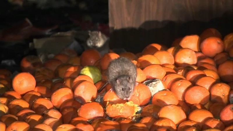 Image result for LA ranked 2nd most rat-infested city in US: Orkin