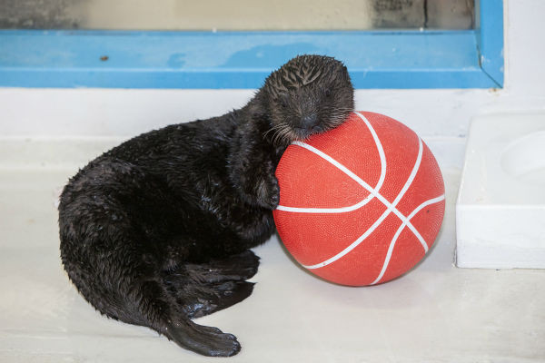 "<div class=""meta image-caption""><div class=""origin-logo origin-image none""><span>none</span></div><span class=""caption-text"">Luna loves March Madness! Think she's dreaming about her Final Four picks? (Shedd Aquarium)</span></div>"