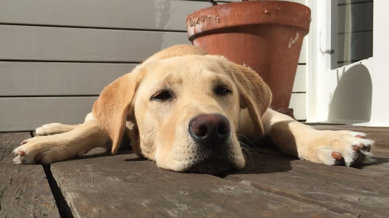 "<div class=""meta image-caption""><div class=""origin-logo origin-image kgo""><span>KGO</span></div><span class=""caption-text"">This Canine Companions for Independence puppy Digby is just chilling out. ABC7 News viewers are sending in photos of their dogs in honor of National Puppy Day on March 23, 2015. (Photo submitted by David/uReport)</span></div>"
