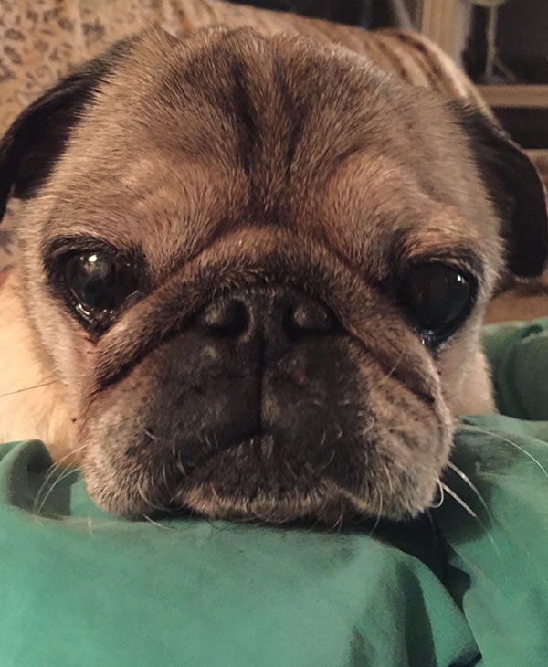 "<div class=""meta image-caption""><div class=""origin-logo origin-image kgo""><span>KGO</span></div><span class=""caption-text"">Petey the handsome pug dog enjoys naps and eating dinner. ABC7 News viewers are sending in photos of their dogs in honor of National Puppy Day on March 23, 2015. (Photo submitted by Jocelyn/uReport)</span></div>"