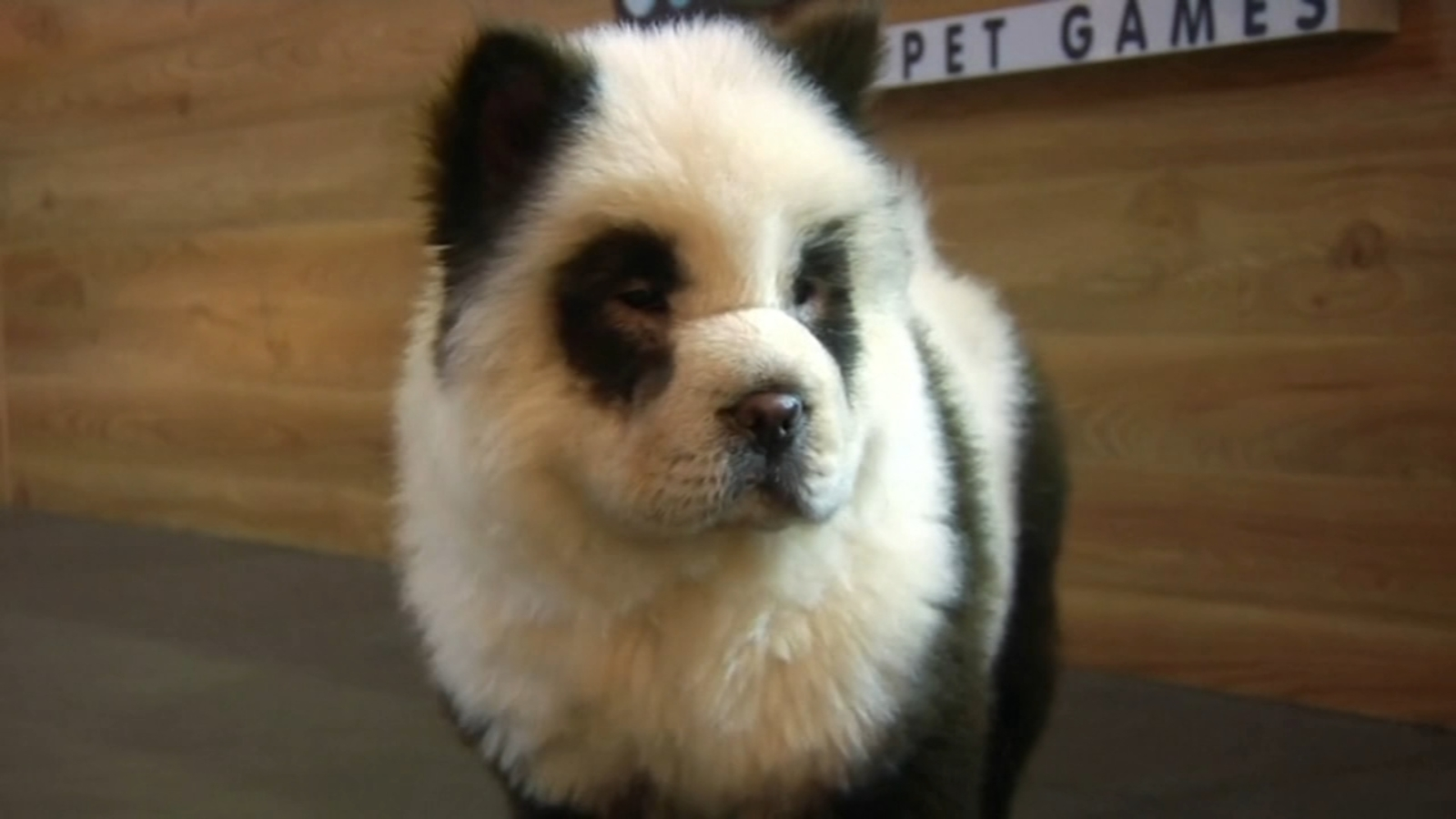 Chinese cafe paints dogs to look like giant pandas - ABC7 Chicago