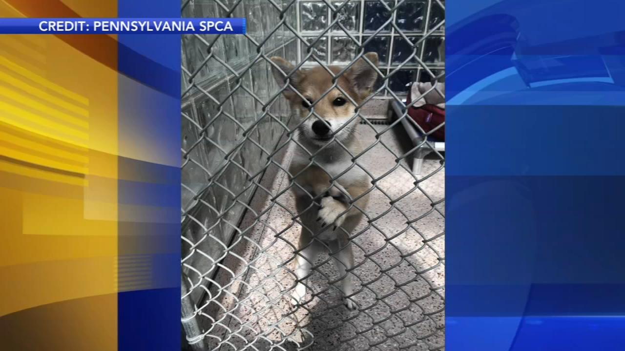 Spca Finds Shiba Inu Puppy Stolen From Philadelphia Headquarters 6abc Philadelphia