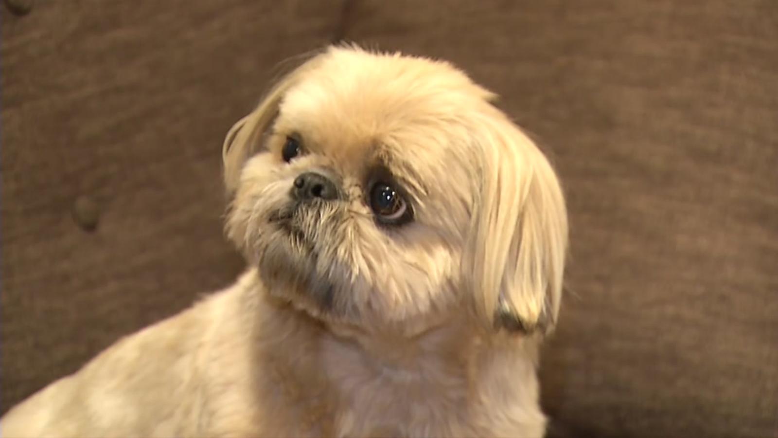 Insta Dog Famous Albany Shih Tzu Has