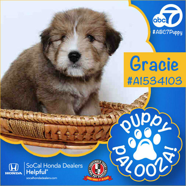 "<div class=""meta image-caption""><div class=""origin-logo origin-image none""><span>none</span></div><span class=""caption-text"">Meet Gracie! She is a 2-month-old brown Great Pyrenees mix. Gracie was adopted by Irine Guzman of Los Angeles. (KABC)</span></div>"