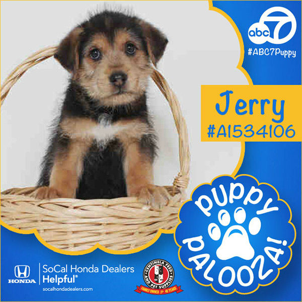 "<div class=""meta image-caption""><div class=""origin-logo origin-image none""><span>none</span></div><span class=""caption-text"">Meet Jerry! He is a 2-month-old black Great Pyrenees mix. Jerry was adopted by Kevin Reid, and renamed Garth after our very own Garth Kemp. (KABC)</span></div>"