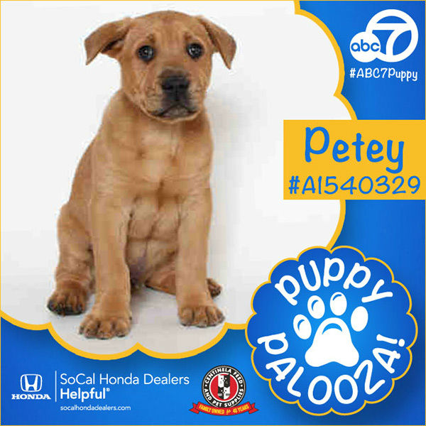 "<div class=""meta image-caption""><div class=""origin-logo origin-image none""><span>none</span></div><span class=""caption-text"">Meet Petey! He is a 2-month-old brown Chow Chow and Germand Shepherd mix. Petey was our first Puppypalooza puppy to find a forever home with Esmeralda. (KABC)</span></div>"