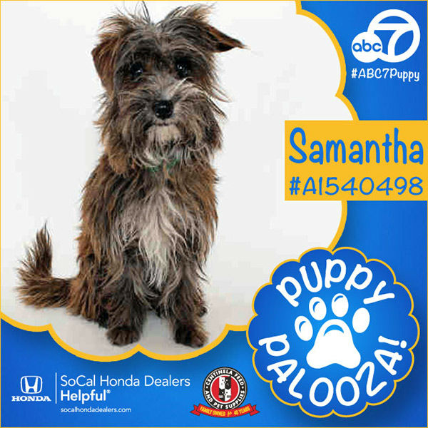 "<div class=""meta image-caption""><div class=""origin-logo origin-image none""><span>none</span></div><span class=""caption-text"">Meet Samantha! She is a 1-year-old brown and black Brussels Griffon mix. Samantha, ID #A1540498, is still available at the North Central Animal Shelter, call (213) 847-1416. (Photo/KABC)</span></div>"