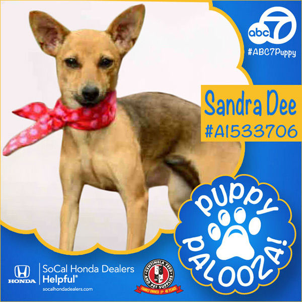 "<div class=""meta image-caption""><div class=""origin-logo origin-image none""><span>none</span></div><span class=""caption-text"">Meet Sandra Dee! She's an 11-month-old tan and black smooth-coated Chihuahua mix. Sandra Dee, ID #A1533706, is available at the North Central Animal Shelter, call (213) 847-1416. (KABC)</span></div>"