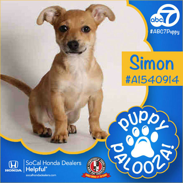 "<div class=""meta image-caption""><div class=""origin-logo origin-image none""><span>none</span></div><span class=""caption-text"">Meet Simon! He is a 3-month-old tan smooth-coated Chihuahua mix. Simon was adopted Tuesday. (KABC)</span></div>"