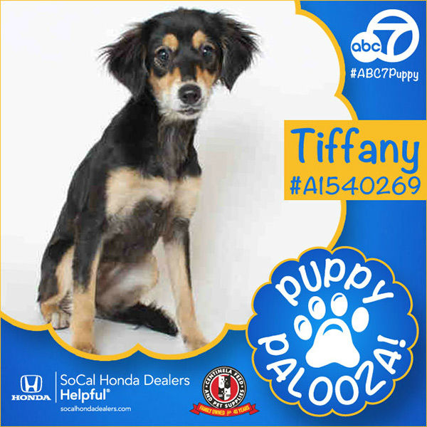 "<div class=""meta image-caption""><div class=""origin-logo origin-image none""><span>none</span></div><span class=""caption-text"">Meet Tiffany! She is an 8-month-old female black and brown Tibetan Spaniel mix. Tiffany was adopted Tuesday. (KABC)</span></div>"