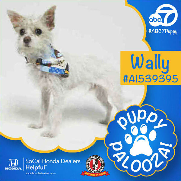 "<div class=""meta image-caption""><div class=""origin-logo origin-image none""><span>none</span></div><span class=""caption-text"">Meet Wally! He is a 1-year-old white Terrier mix. Wally, ID #A1539395, will be available March 31st at the Harbor Animal Care Center in San Pedro, call (888) 452-7381. (KABC)</span></div>"
