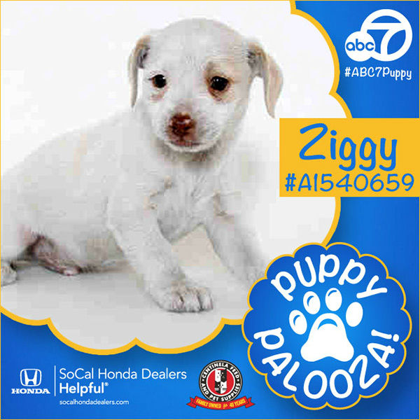 "<div class=""meta image-caption""><div class=""origin-logo origin-image none""><span>none</span></div><span class=""caption-text"">Meet Ziggy! He is a 2-month-old white and tan Terrier mix and Beagle. Ziggy was adopted by Jeff Stephenson. (KABC)</span></div>"