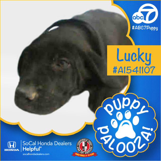 "<div class=""meta image-caption""><div class=""origin-logo origin-image none""><span>none</span></div><span class=""caption-text"">Meet Lucky! He's a 3-month-old black and white Labrador Retriever and Mastiff mix. Lucky was adopted by Diane Oaks from Newbury Park. (KABC)</span></div>"